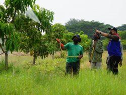 Targetkan Panen 1 Ton, CSR Kilang Balongan Lakukan Perawatan Kebun Mangga Agrimania
